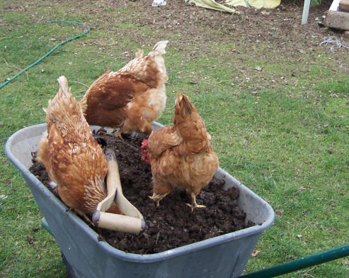 Hens 'helping' me garden