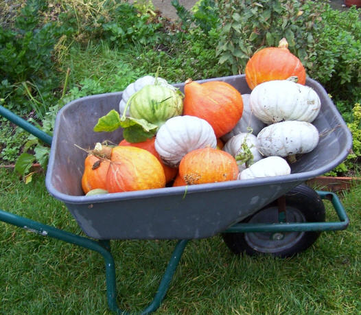 Harvesting squashes