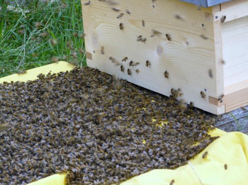 Bees running into a new hive